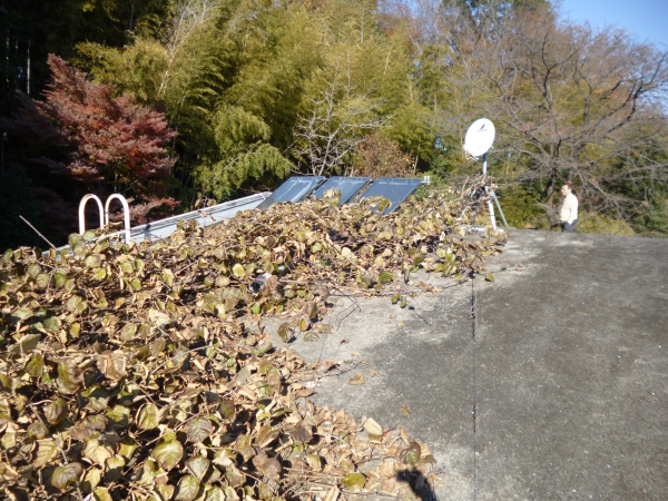 屋上の枯れ木です