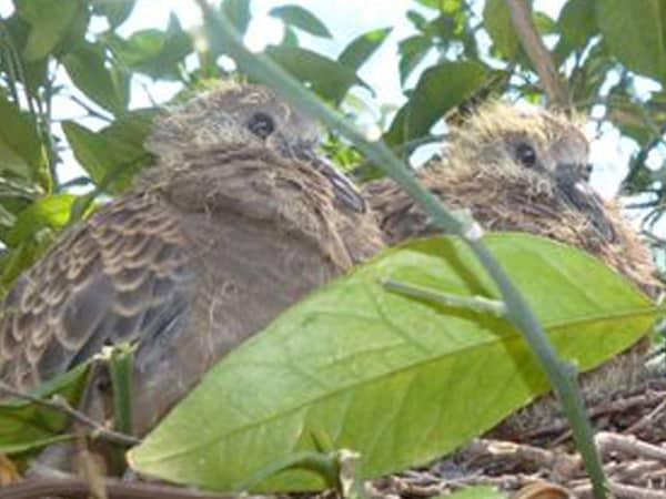 鳩の赤ちゃん